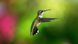Pictures Of Hummingbird