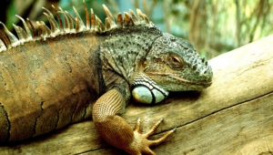Pictures Of Iguana