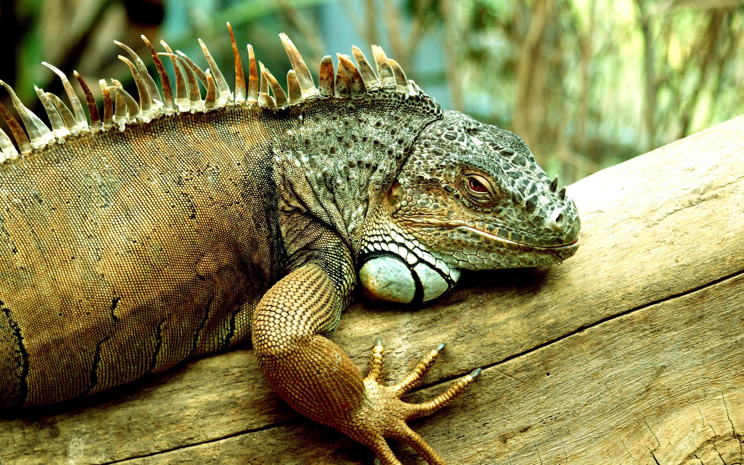 Pictures Of Iguana