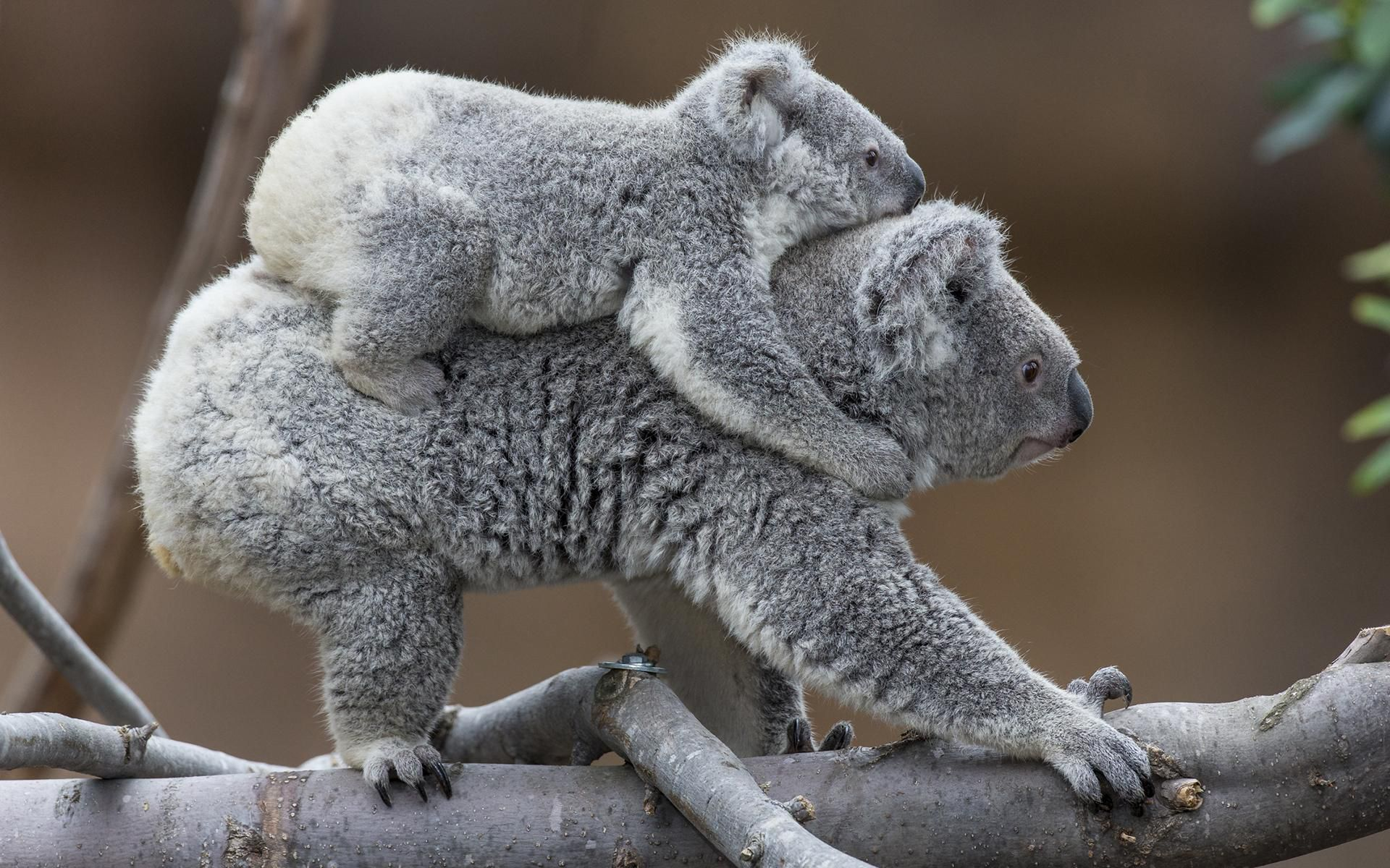Pictures Of Koala