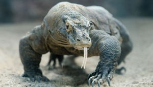 Pictures Of Komodo Dragon