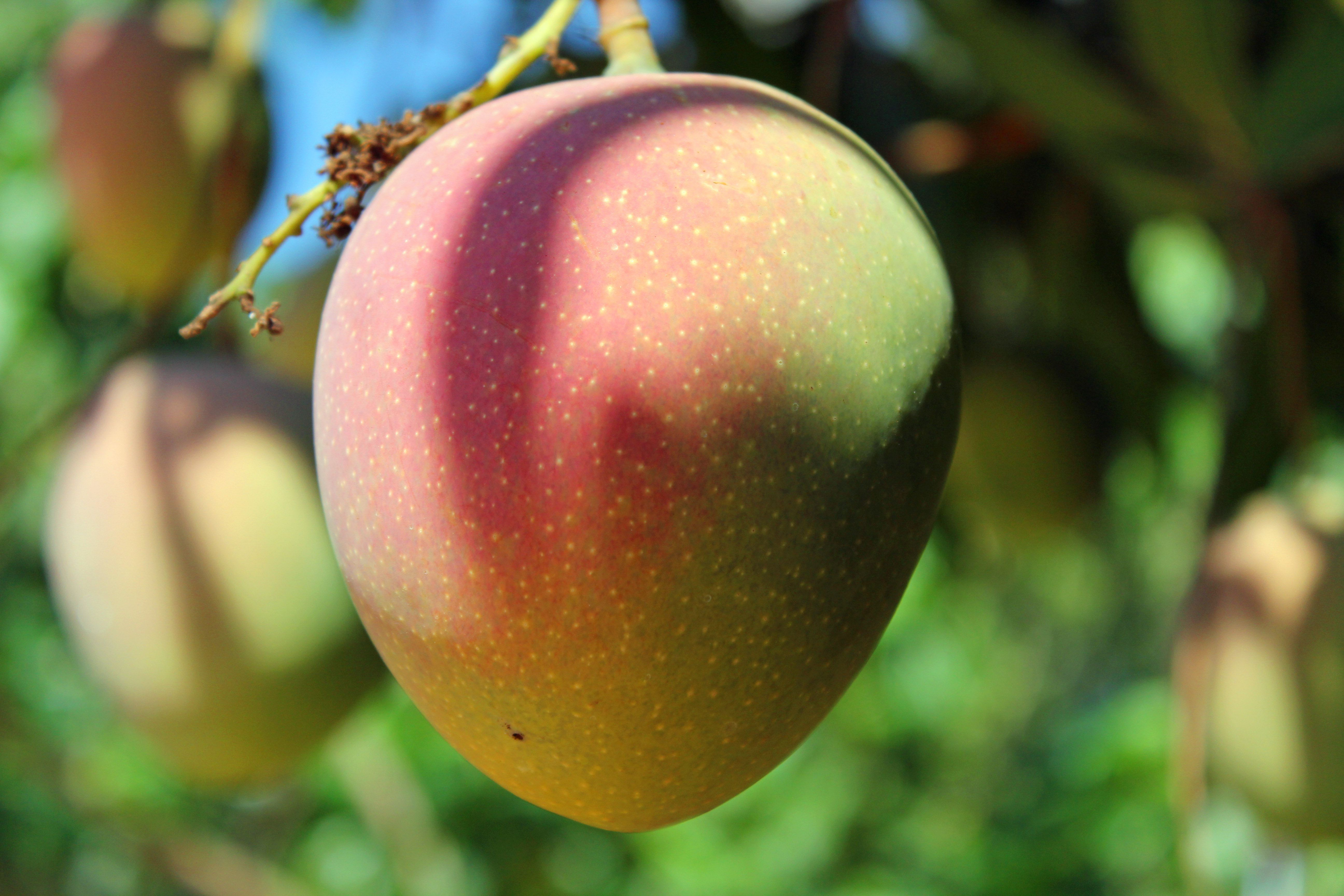 Pictures Of Mango