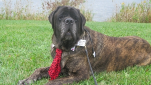 Pictures Of Mastiff