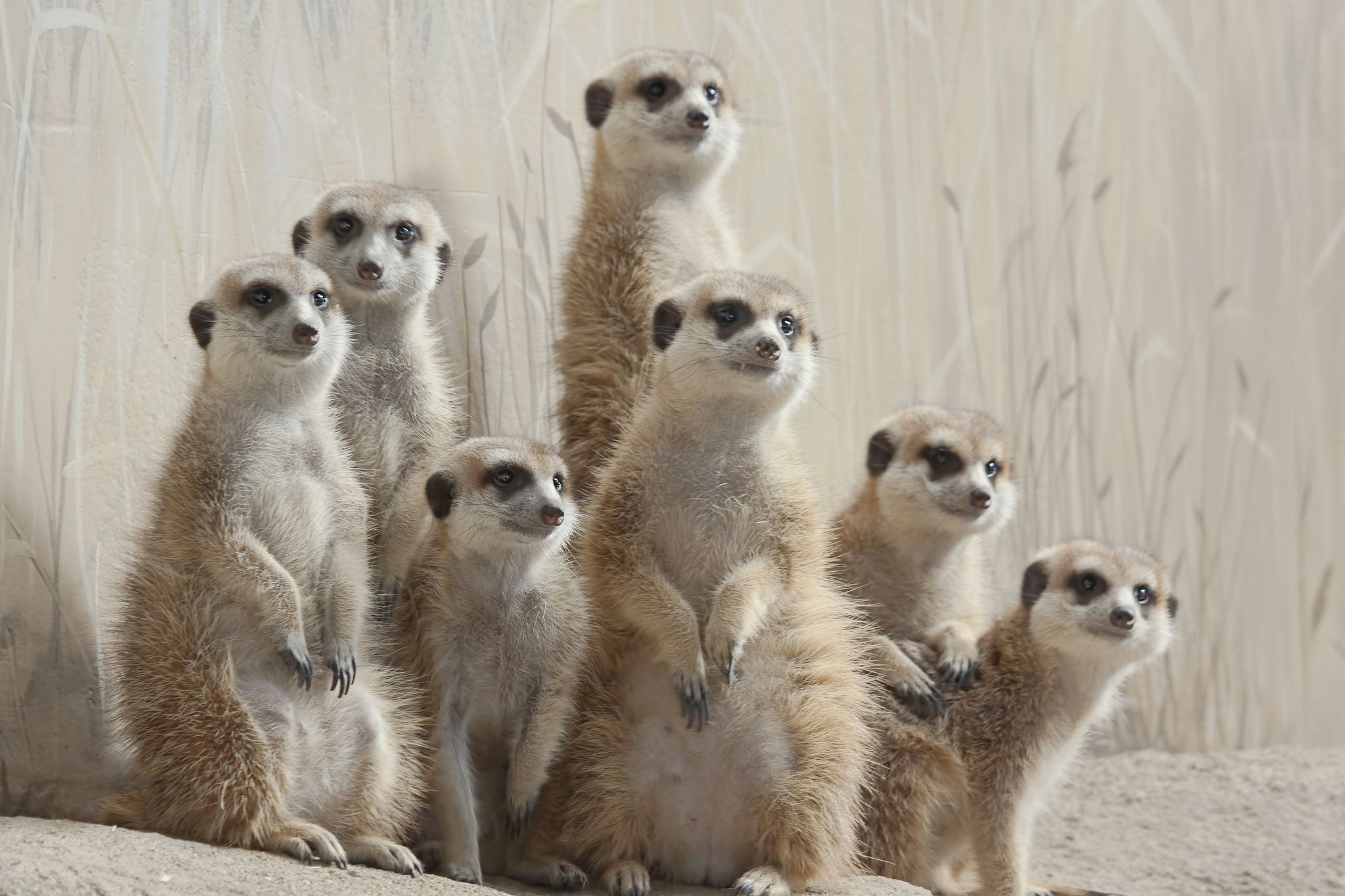 Pictures Of Meerkat