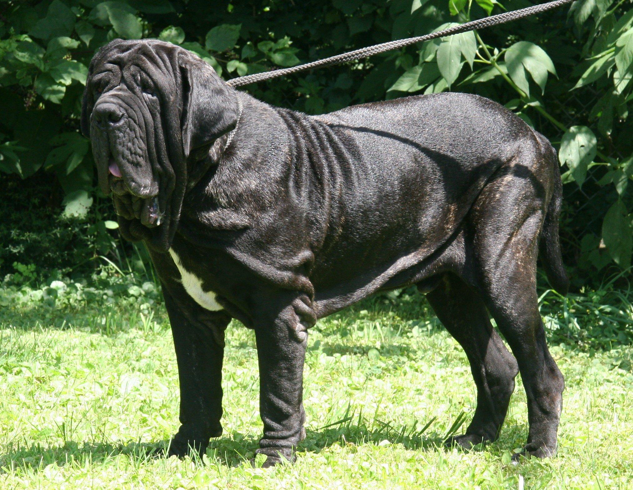 Pictures Of Neapolitan Mastiff