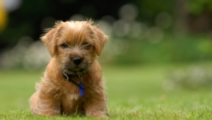 Pictures Of Norfolk Terrier
