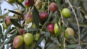 Pictures Of Olives