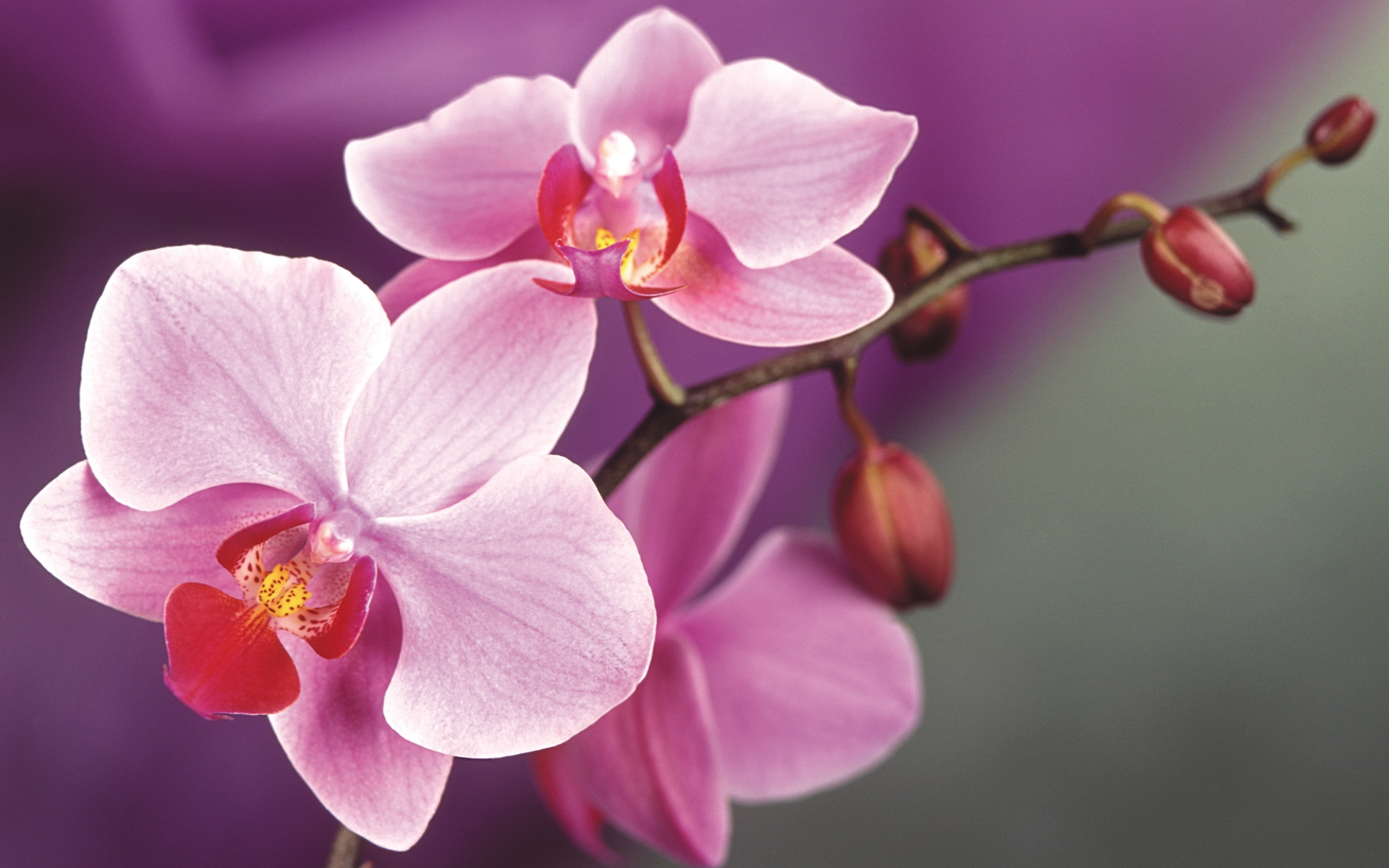 Pictures Of Orchid