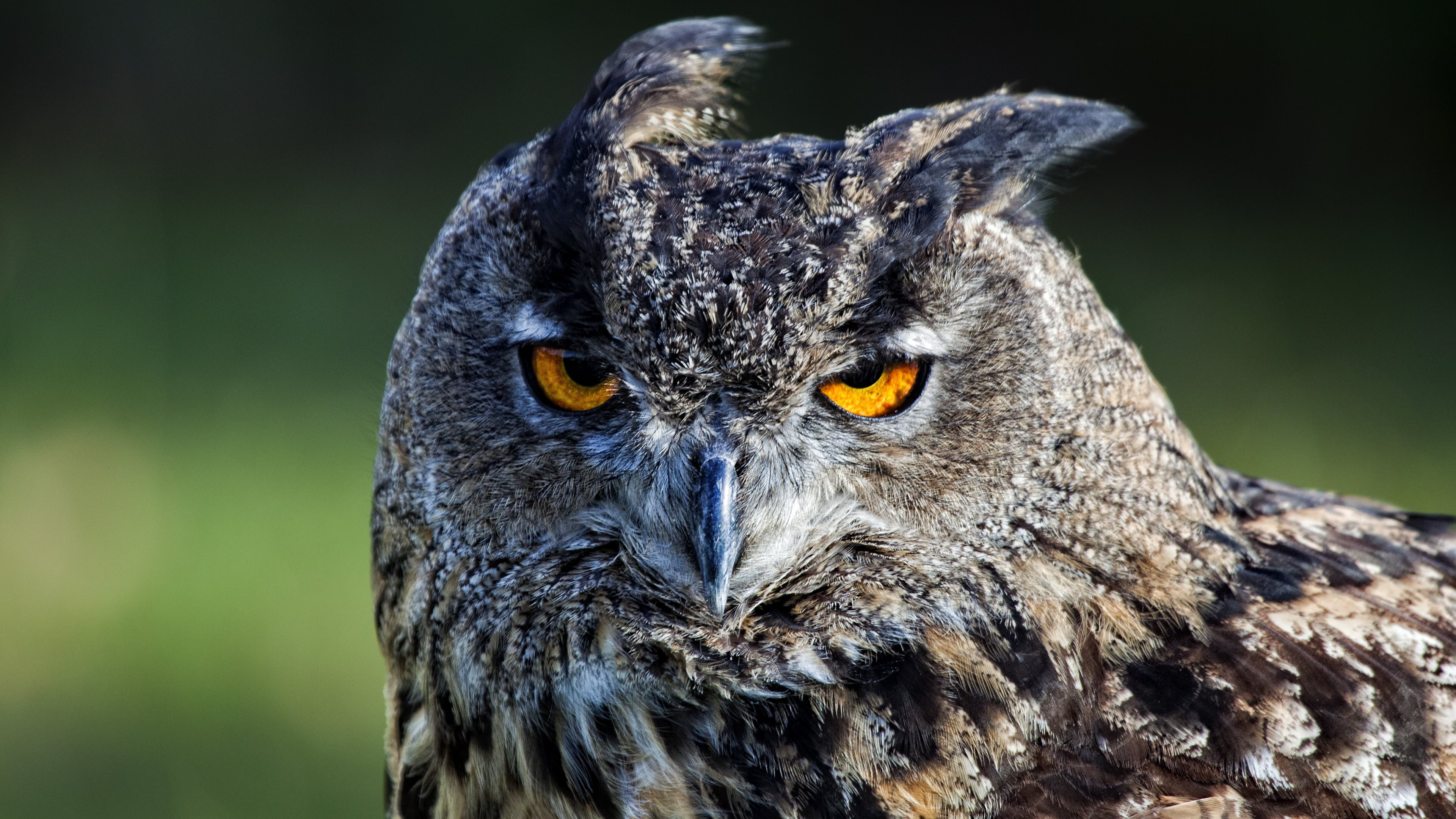 Pictures Of Owl