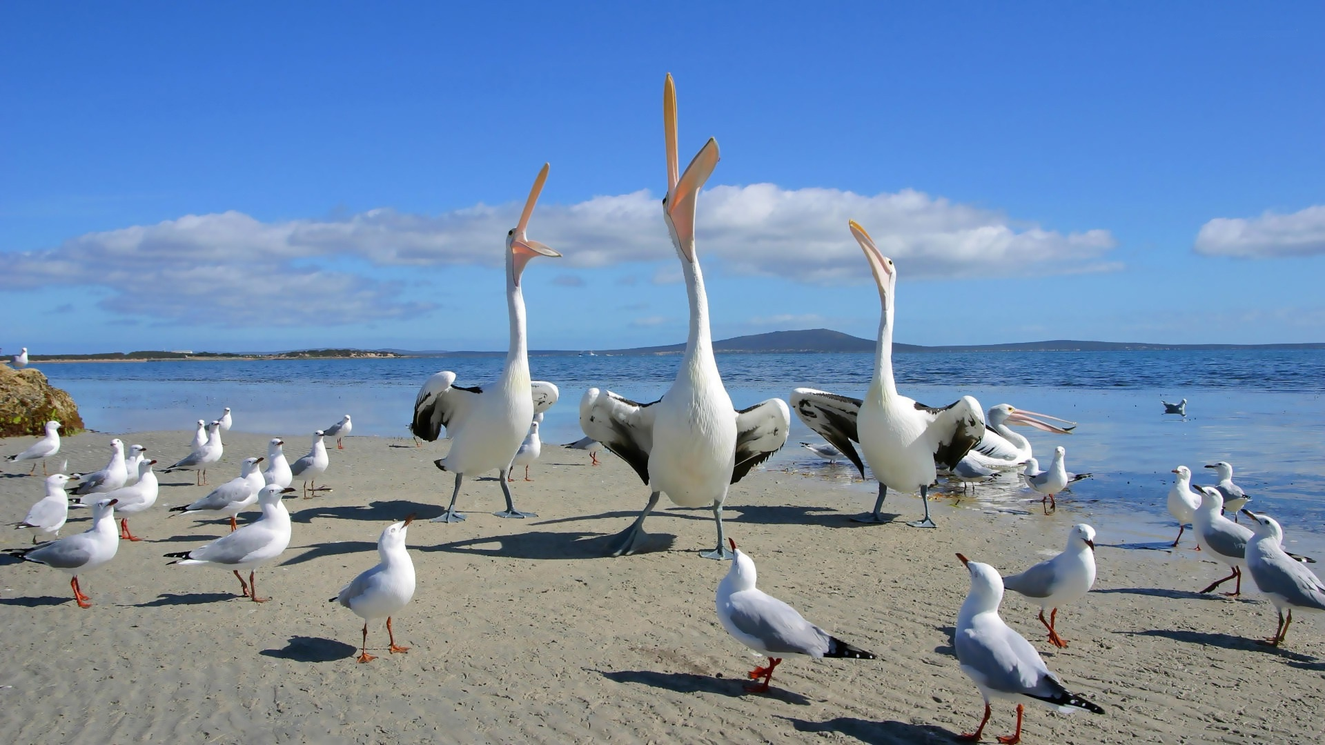 Pictures Of Pelican
