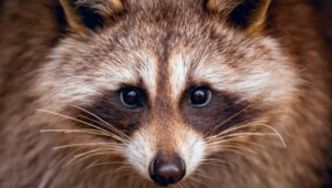 Pictures Of Raccoon
