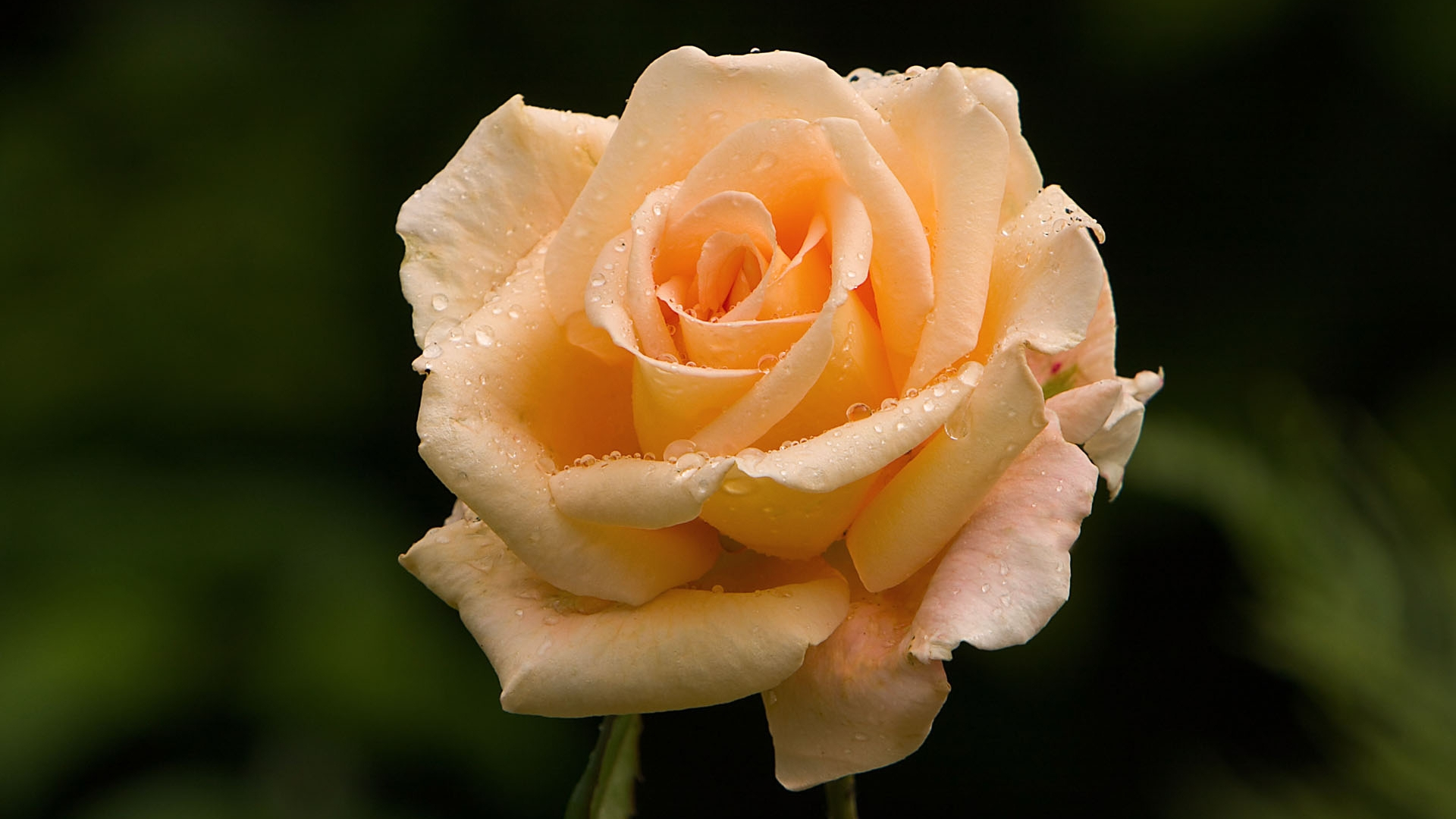 Pictures Of Rose