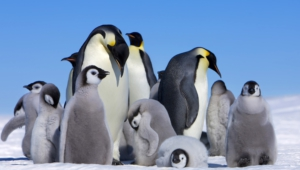 Pictures Of Royal Penguin