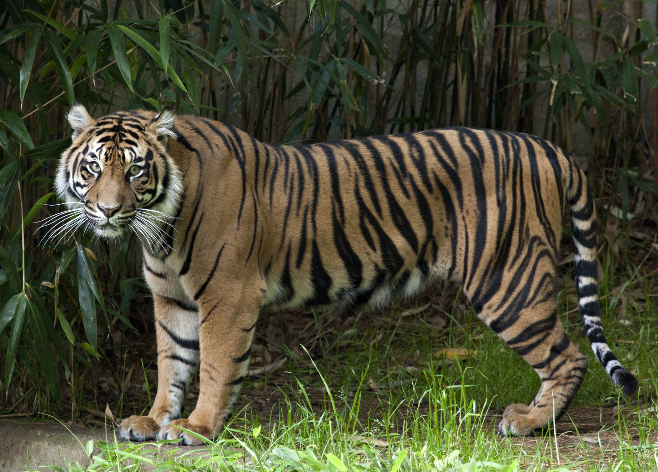 Pictures Of Sumatran Tiger
