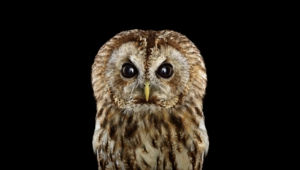 Pictures Of Tawny Owl