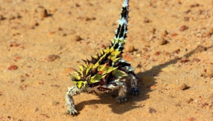 Pictures Of Thorny Devil