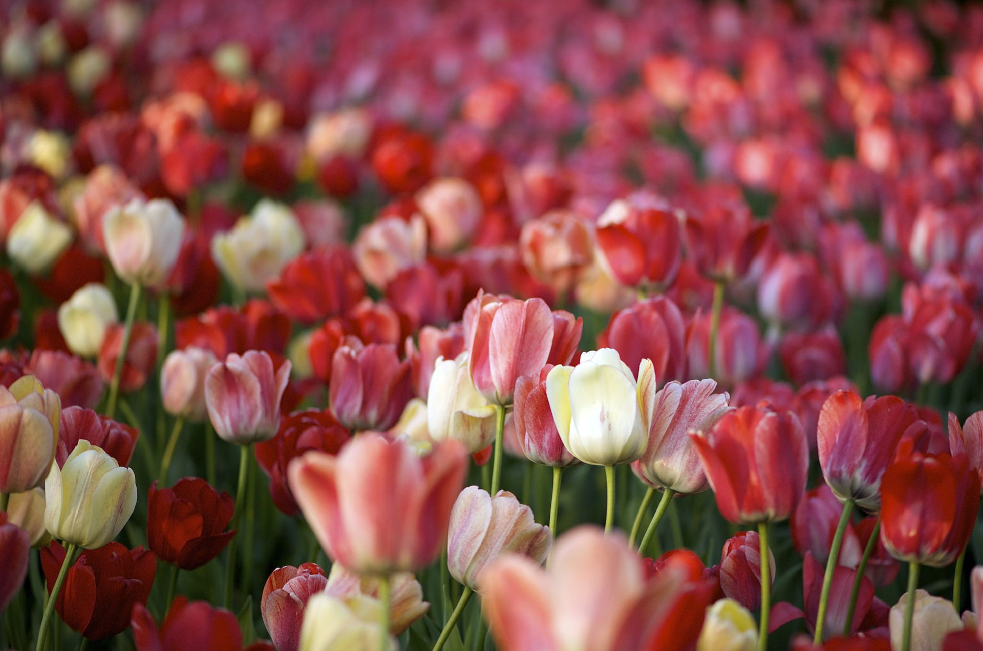 Pictures Of Tulips