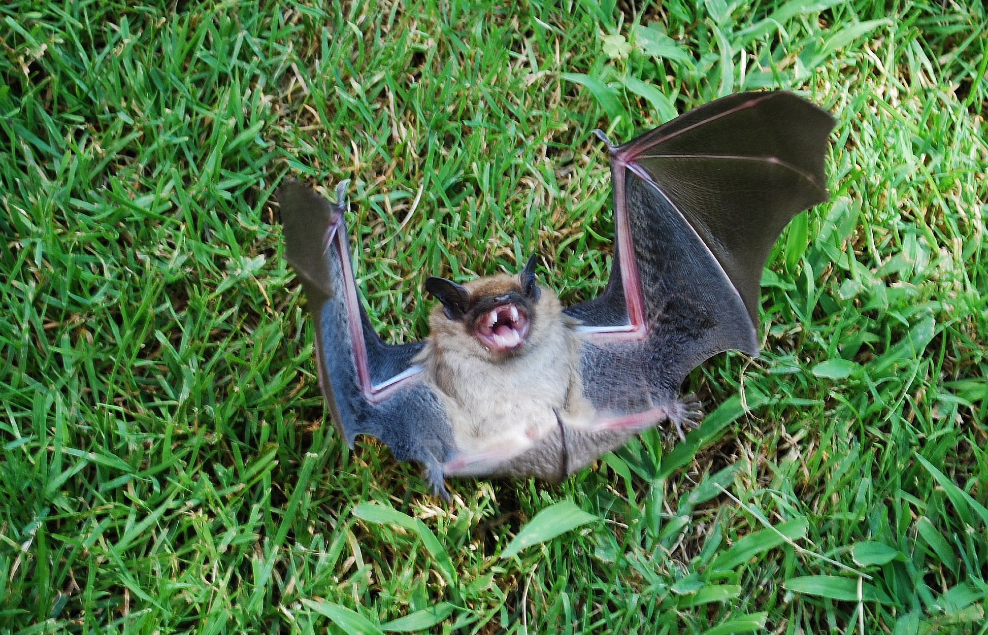 Pictures Of Vampire Bat