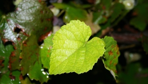 Pictures Of Vine Leaf