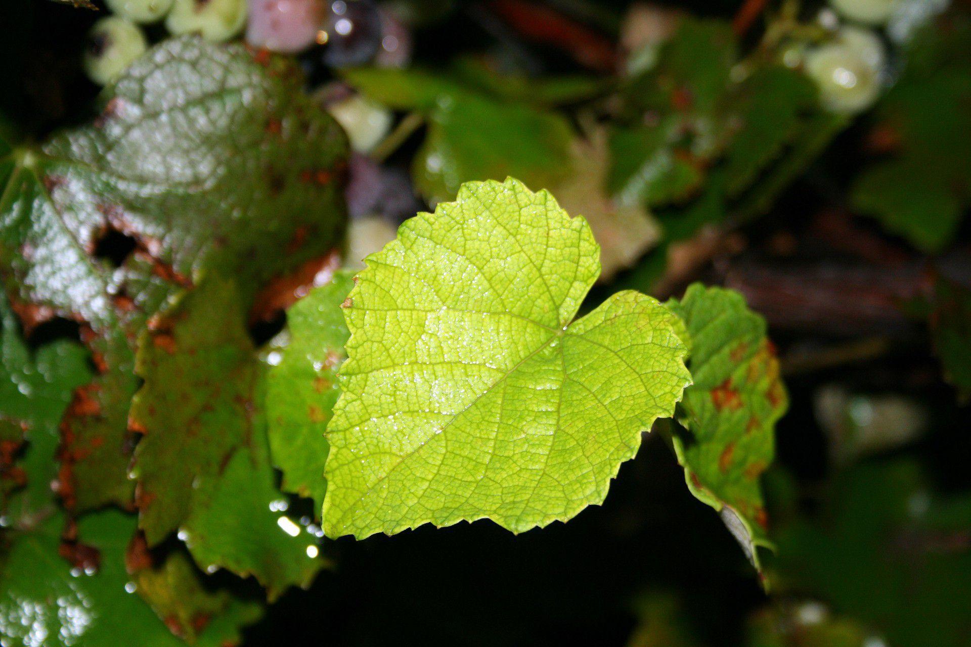 Pictures Of Vine Leaf