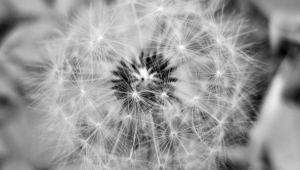 Pictures Of White Dandelion