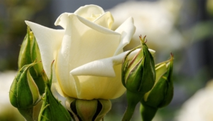 Pictures Of White Rose