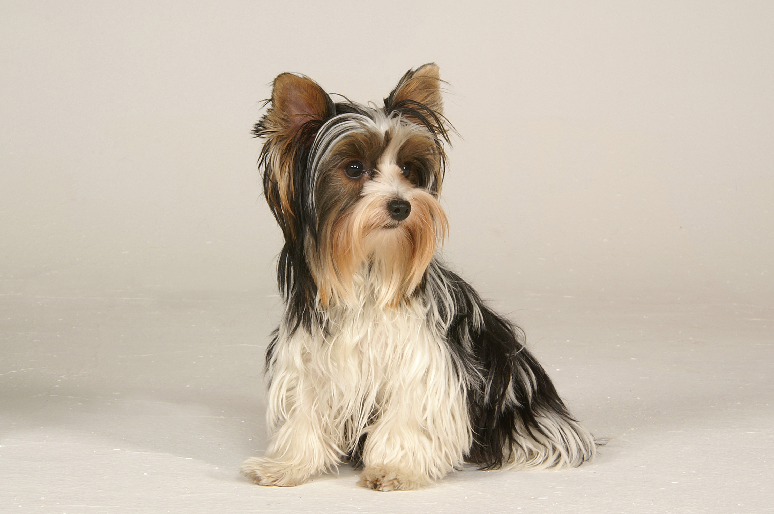 Pictures Of Yorkshire Terrier