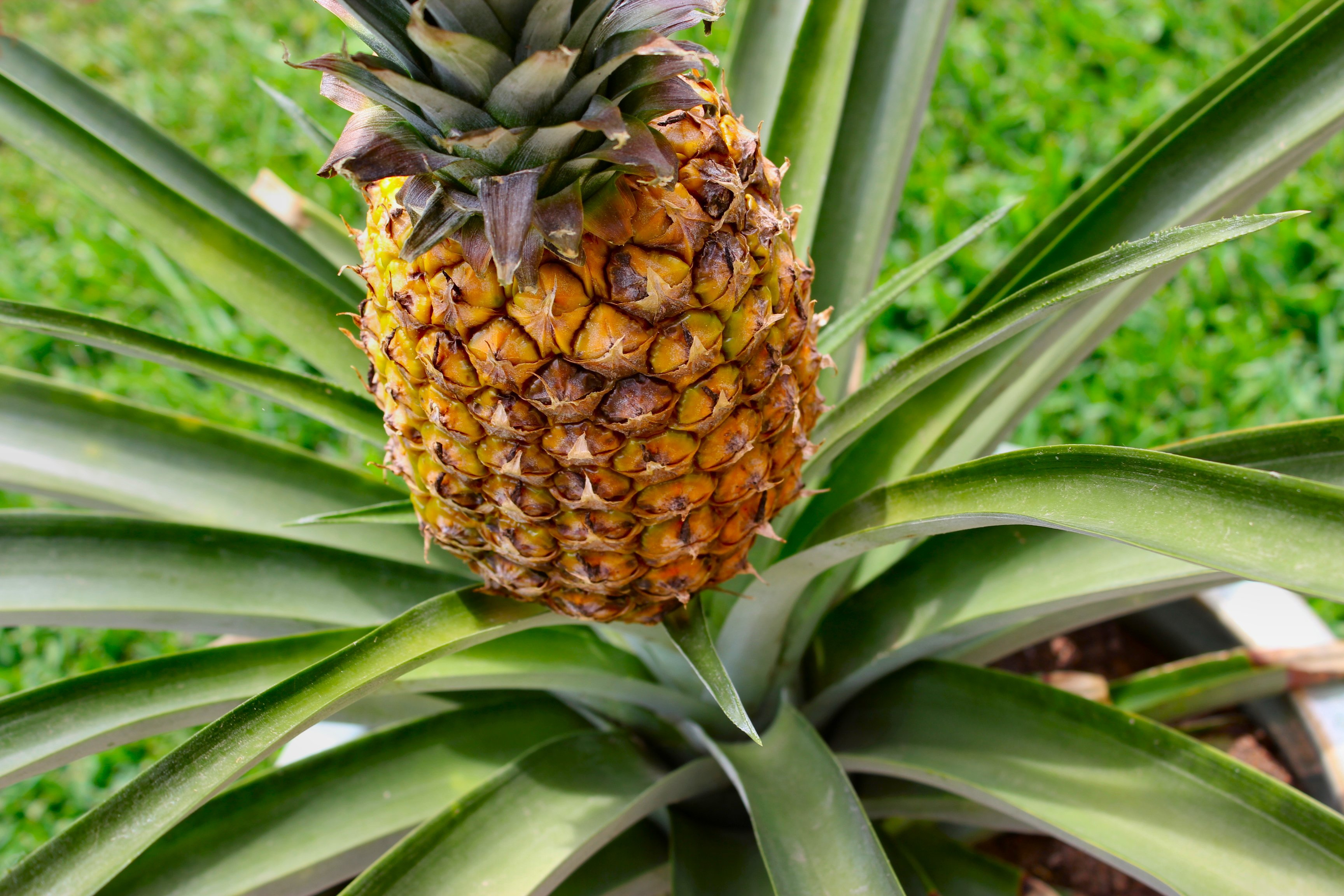 Pineapple Hd Desktop