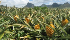 Pineapple High Definition Wallpapers