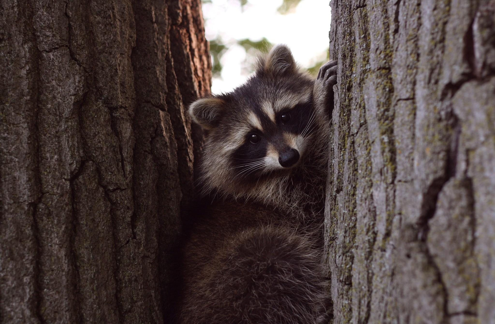 Raccoon 4k