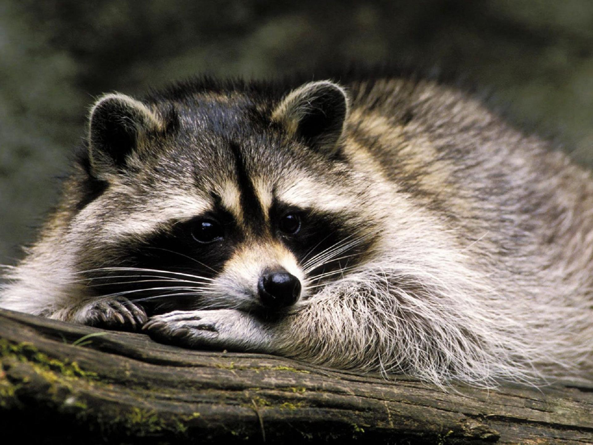 Raccoon Computer Wallpaper