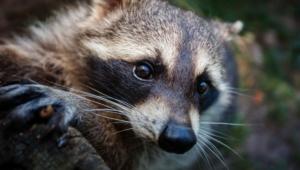 Raccoon Hd Background