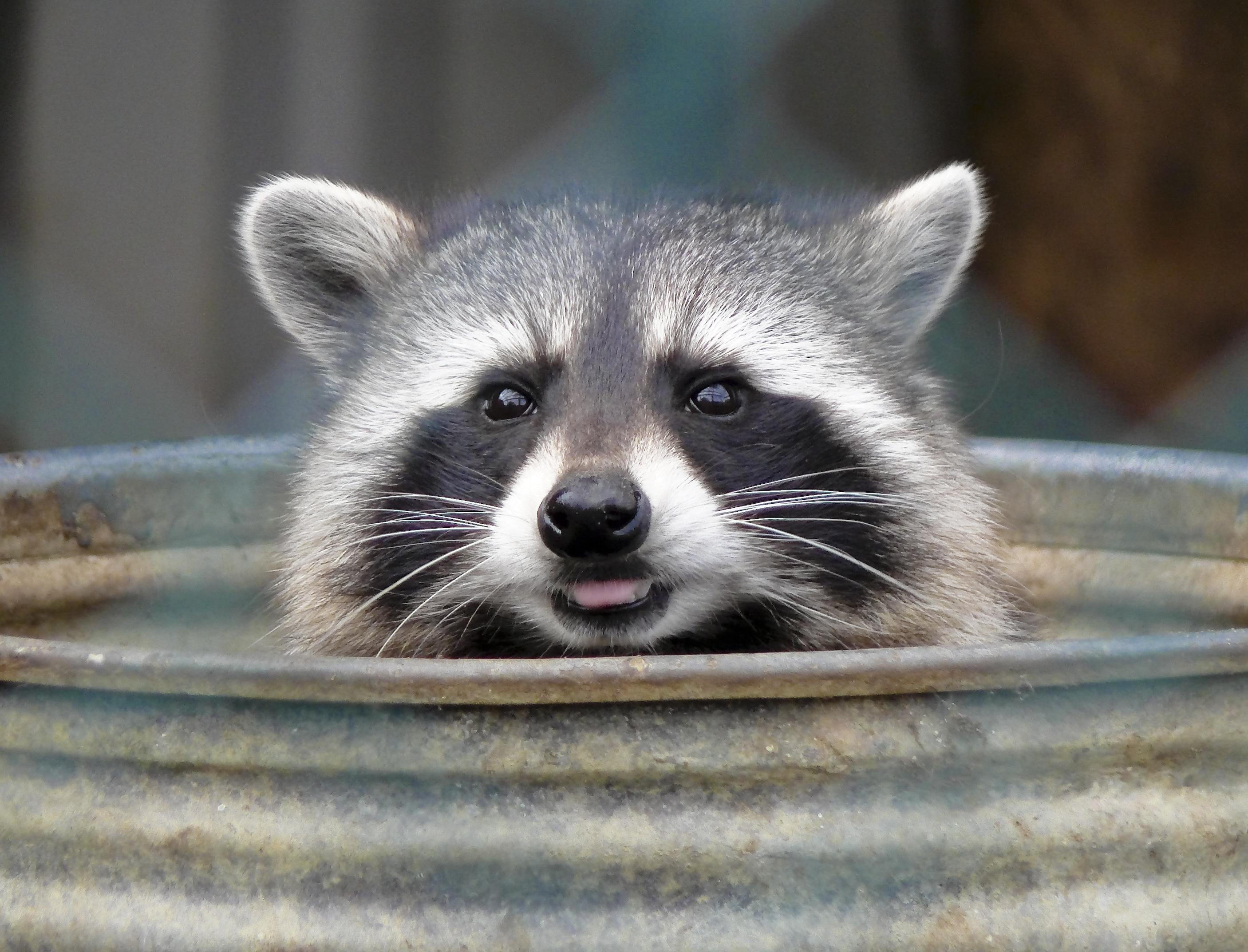 Raccoon Hd Desktop