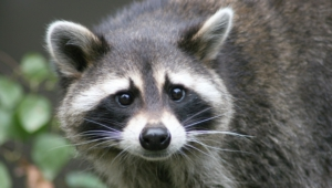 Raccoon Hd Wallpaper