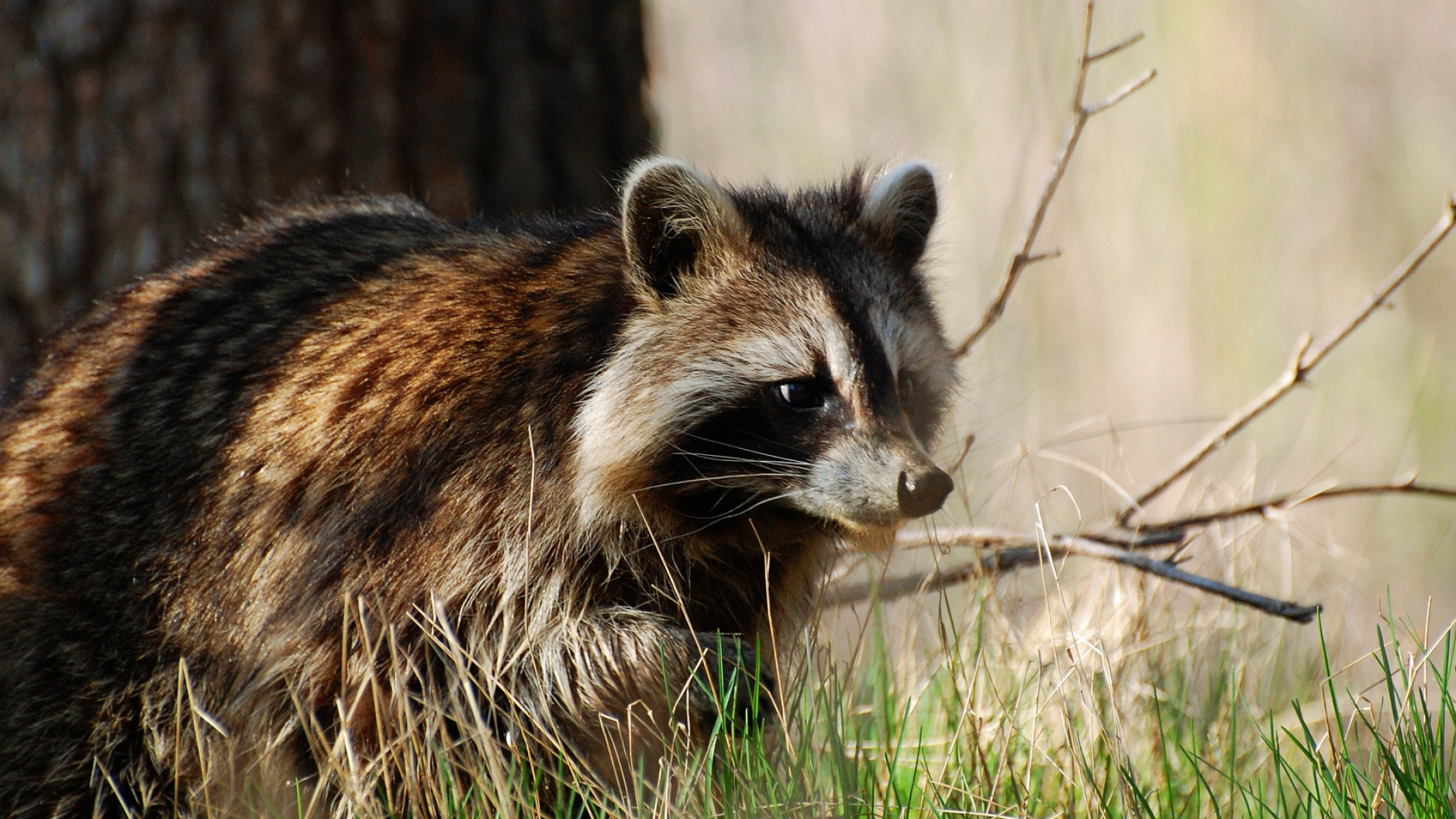 Raccoon Wallpapers And Backgrounds