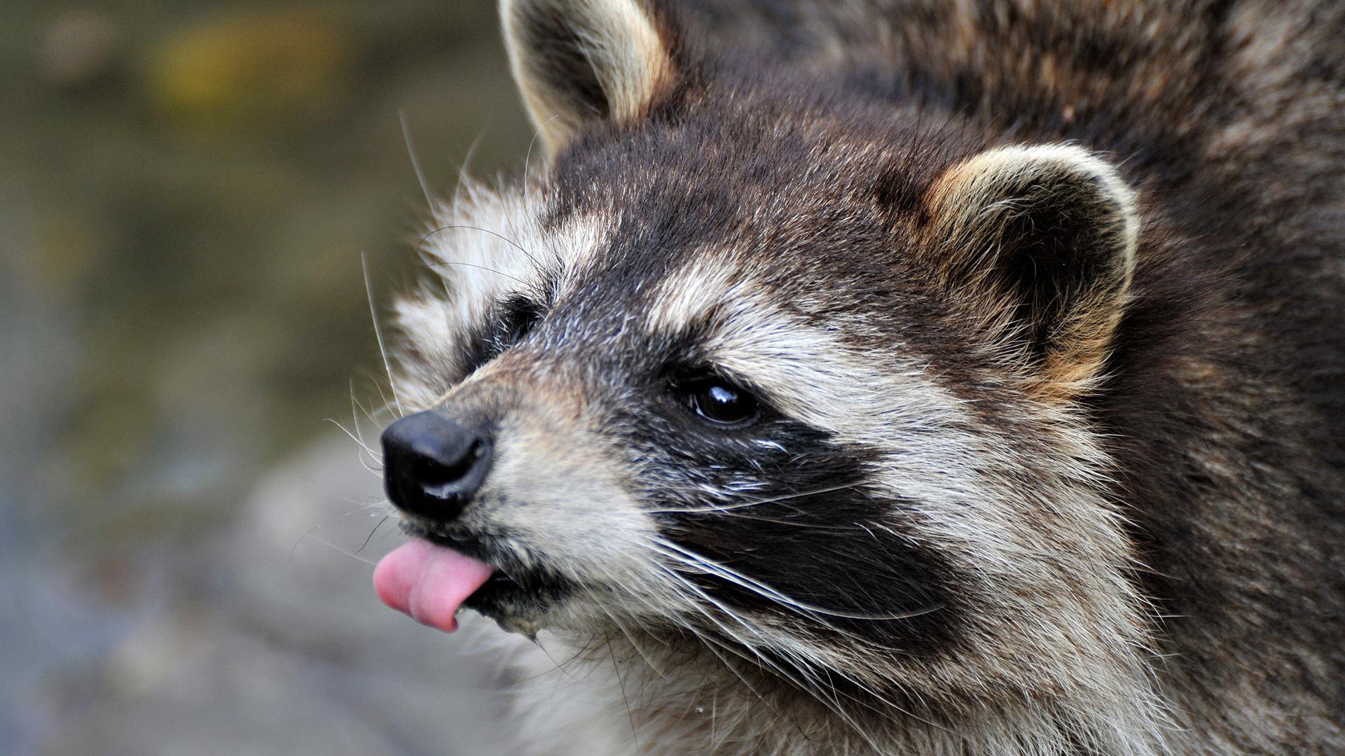 Raccoon Widescreen