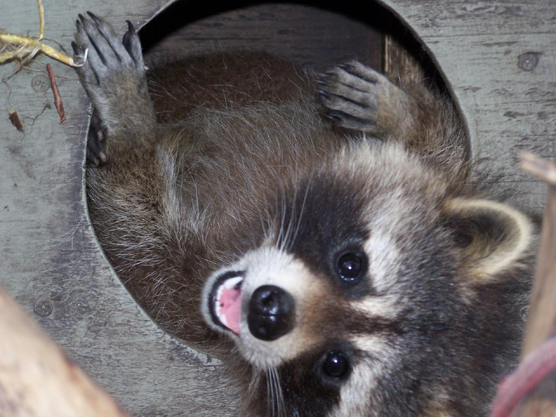 Raccoon For Desktop
