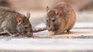 Rat Hd