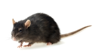 Rat Hd Background