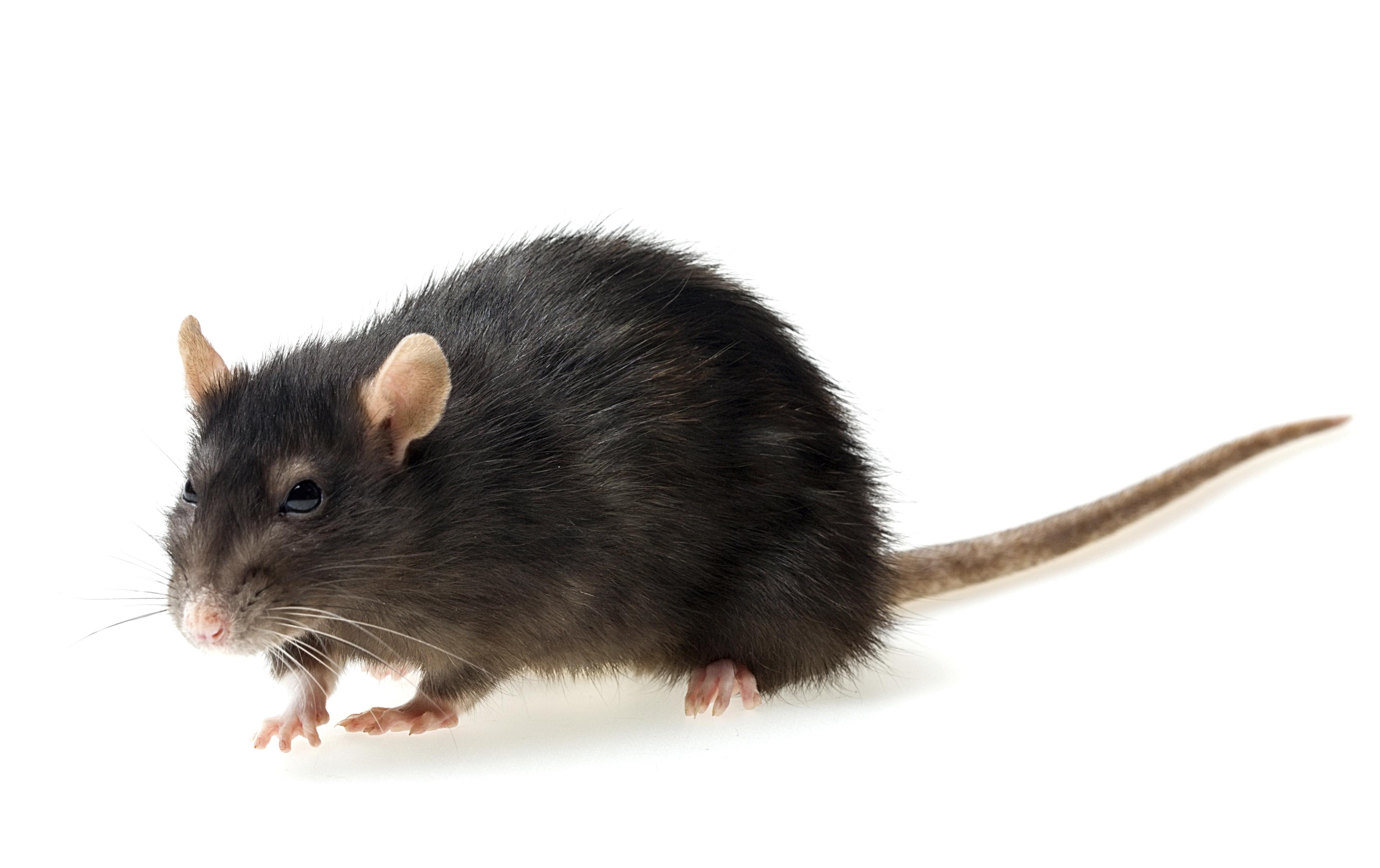 Rat Hd Background