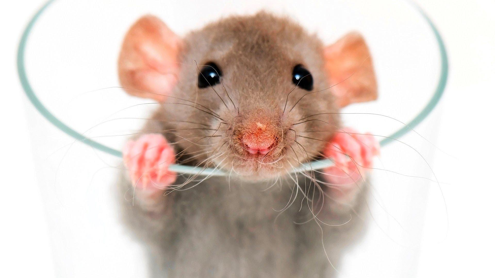 Rat Hd Desktop
