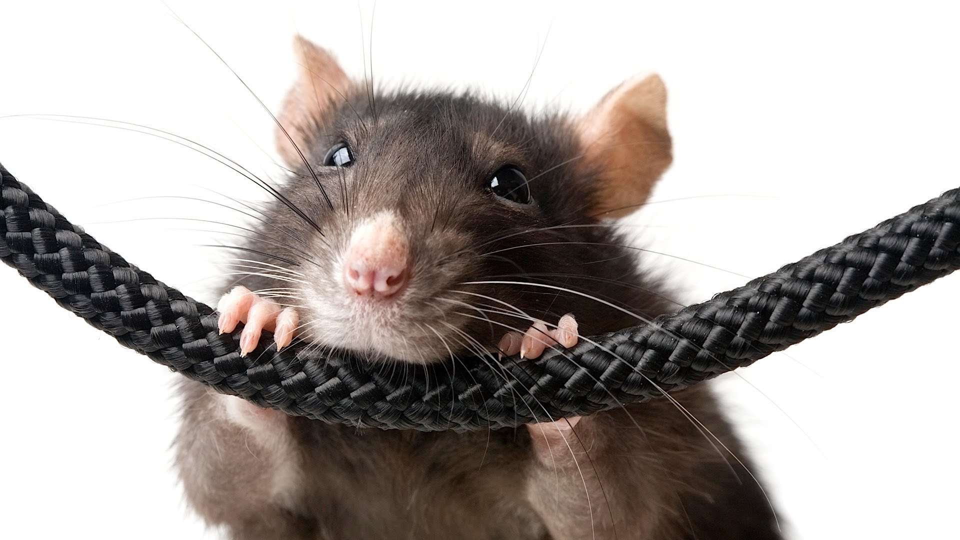 Rat High Definition Wallpapers