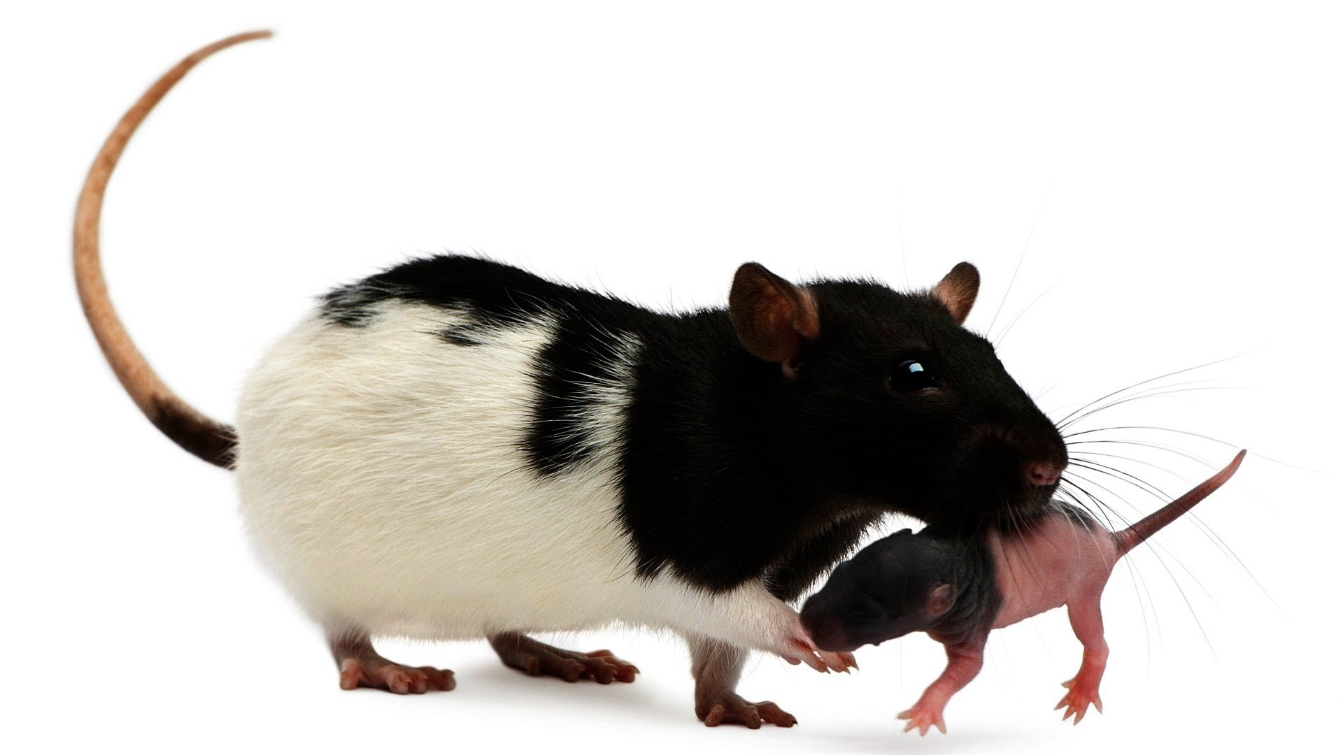 Rat High Quality Wallpapers