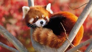 Red Panda 4k