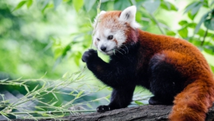Red Panda Computer Backgrounds