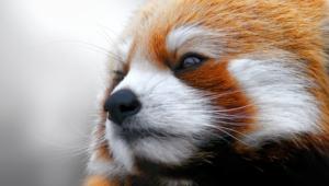 Red Panda Desktop