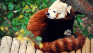 Red Panda High Quality Wallpapers