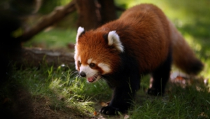 Red Panda Images