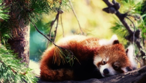 Red Panda Wallpapers And Backgrounds