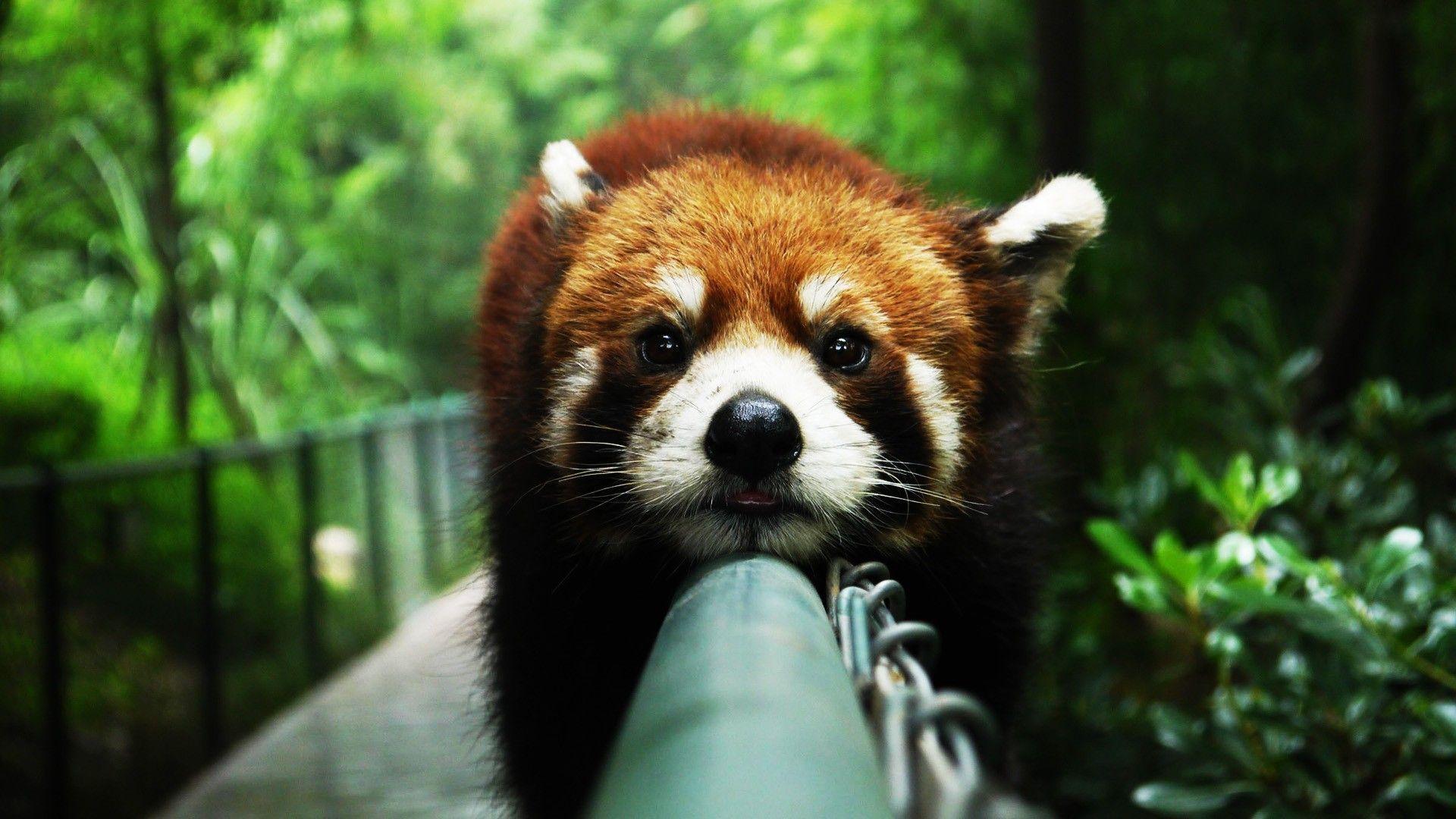 Red Panda Widescreen